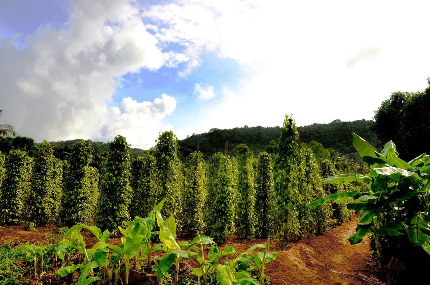 black pepper plantations phu quoc
